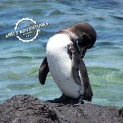 06-galapagos-penguin